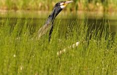 Kormoran to jeden z najczęściej spotykanych ptaków na pojezierzu